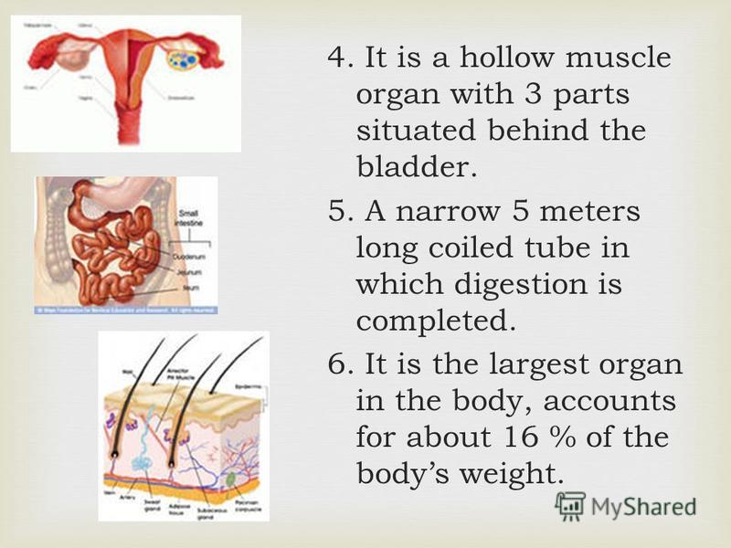 4. It is a hollow muscle organ with 3 parts situated behind the bladder. 5. A narrow 5 meters long coiled tube in which digestion is completed. 6. It is the largest organ in the body, accounts for about 16 % of the bodys weight.