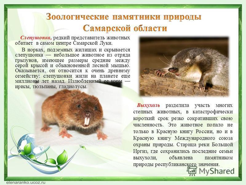 Слепушонка, редкий представитель животных обитает в самом центре Самарской Луки. В норках, подземных жилищах и скрывается слепушонка небольшое животное из отряда грызунов, имеющее размеры средние между серой крысой и обыкновенной лесной мышью. Оказыв