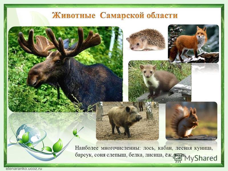 Наиболее многочисленны: лось, кабан, лесная куница, барсук, соня слепыш, белка, лисица, ёж, волк