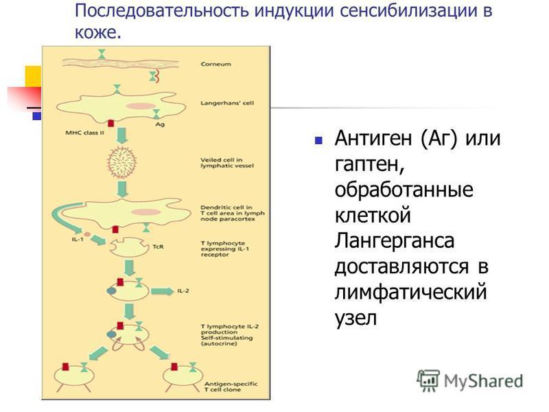 Последовательность индукции сенсибилизации в коже. Антиген (Аг) или гаптен, обработанные клеткой Лангерганса доставляются в лимфатический узел