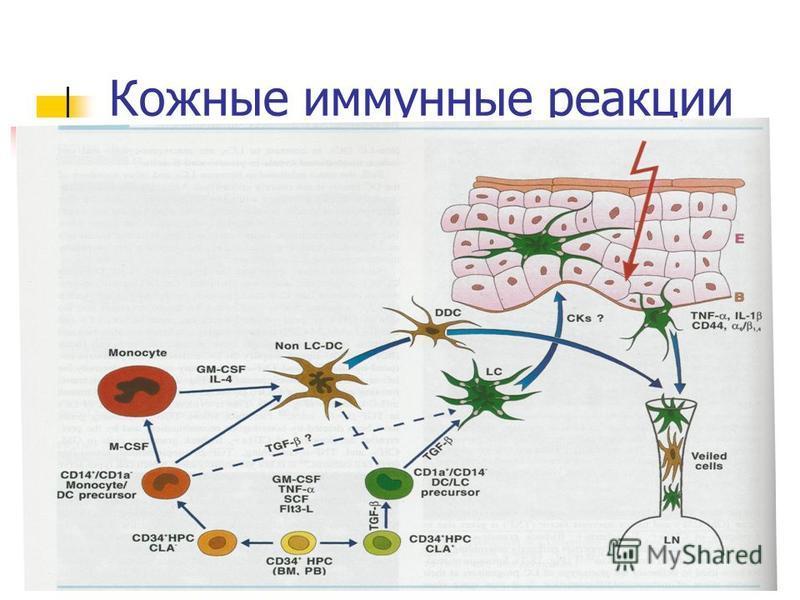 Кожные иммунные реакции