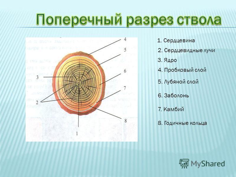 1. Сердцевина 2. Сердцевидные лучи 3. Ядро 4. Пробковый слой 5. Лубяной слой 6. Заболонь 7. Камбий 8. Годичные кольца
