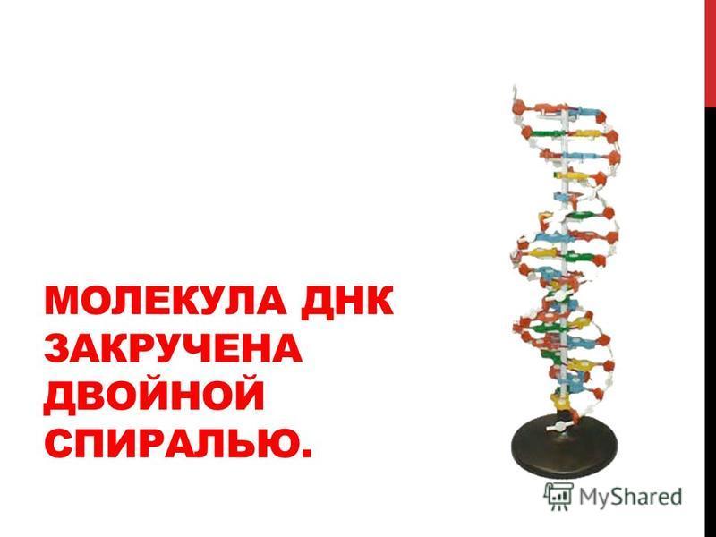 МОЛЕКУЛА ДНК ЗАКРУЧЕНА ДВОЙНОЙ СПИРАЛЬЮ.
