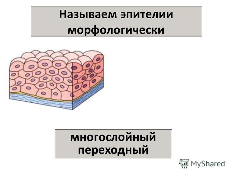 Называем эпителии морфологически многослойный переходный