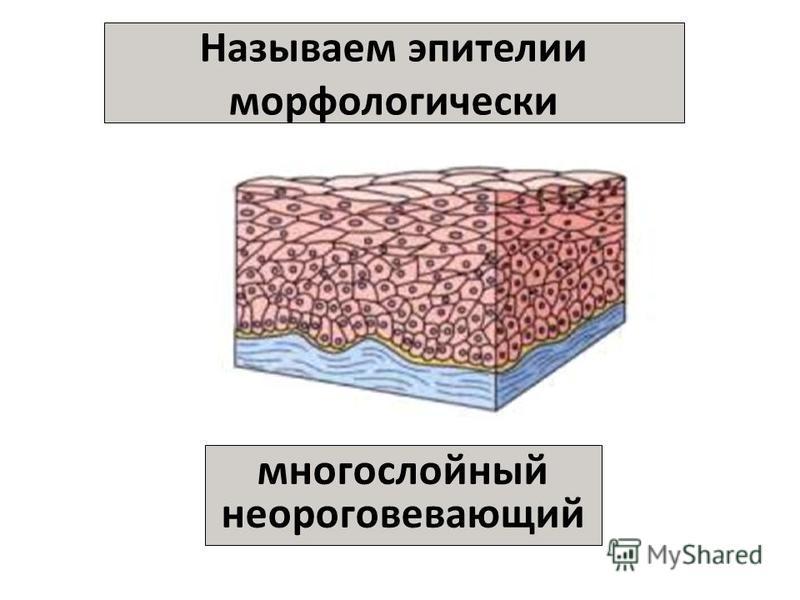 Называем эпителии морфологически многослойный неороговевающий