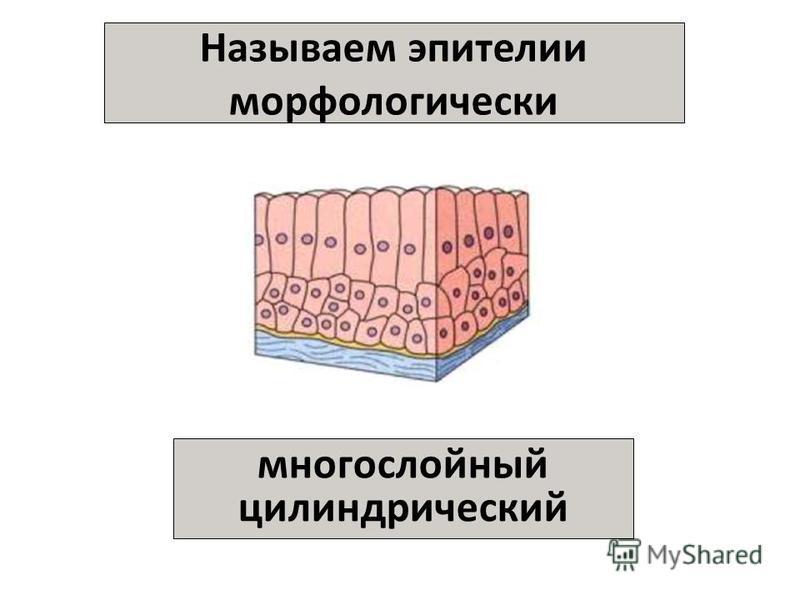 Называем эпителии морфологически многослойный цилиндрический