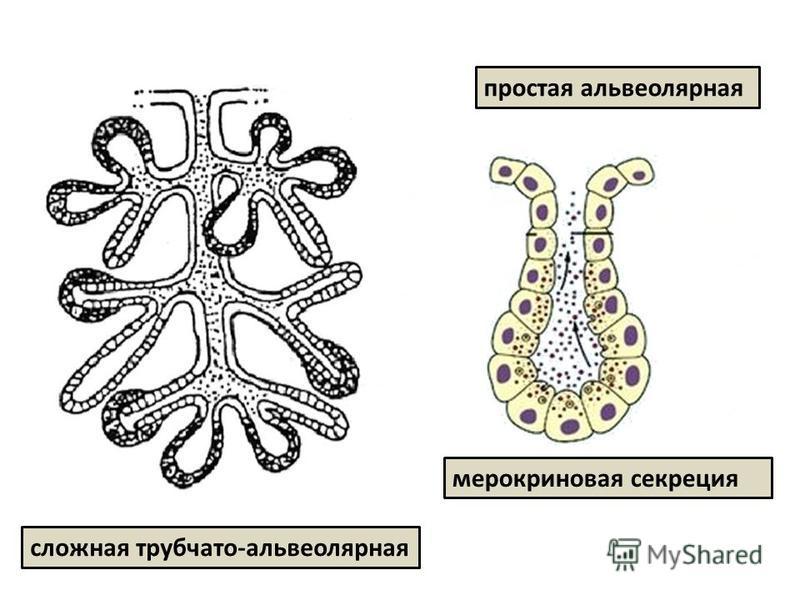 сложная трубчато-альвеолярная простая альвеолярная мерокриновая секреция