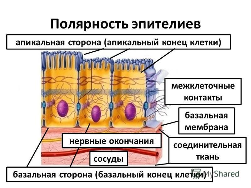 Полярность эпителиев апикальная сторона (апикальный конец клетки) базальная сторона (базальный конец клетки) межклеточные контакты базальная мембрана соединительная ткань нервные окончания сосуды