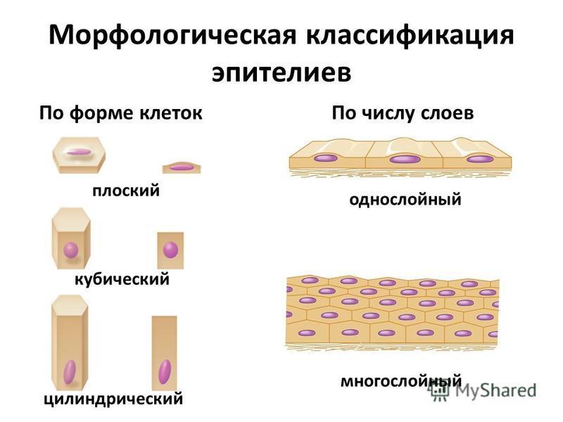Морфологическая классификация эпителиев По форме клеток По числу слоев плоский цилиндрический кубический однослойный многослойный