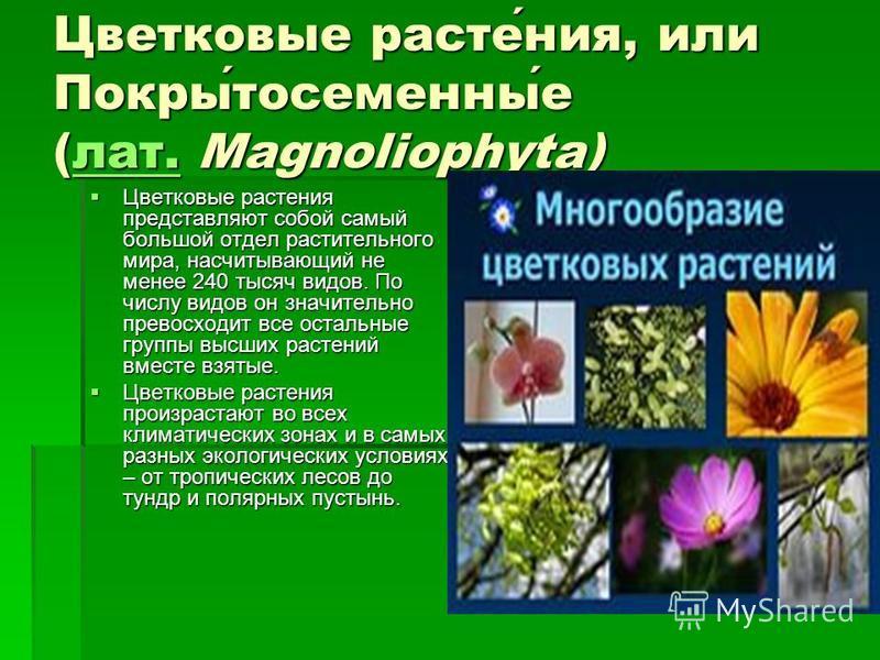 Цветковые растения, или Покрытосеменные (лат. Magnoliophyta) лат. Цветковые растения представляют собой самый большой отдел растительного мира, насчитывающий не менее 240 тысяч видов. По числу видов он значительно превосходит все остальные группы выс