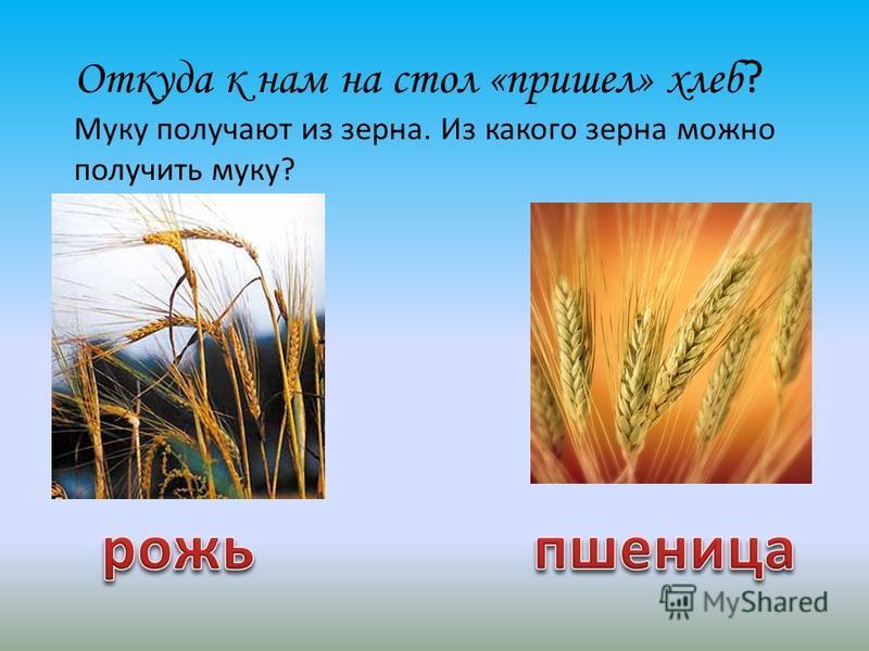 Откуда к нам на стол «пришел» хлеб ? Муку получают из зерна. Из какого зерна можно получить муку?