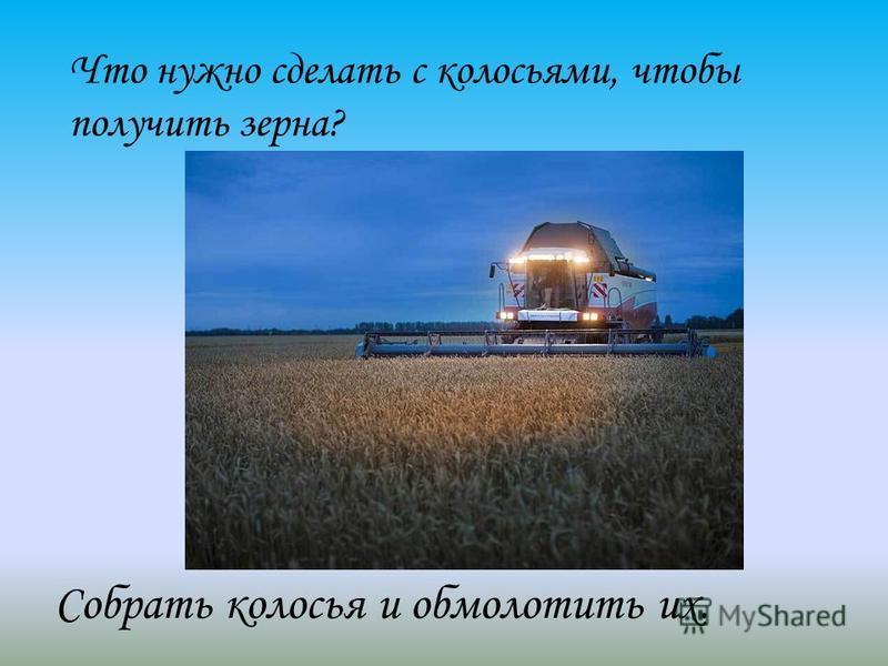 Что нужно сделать с колосьями, чтобы получить зерна? Собрать колосья и обмолотить их.