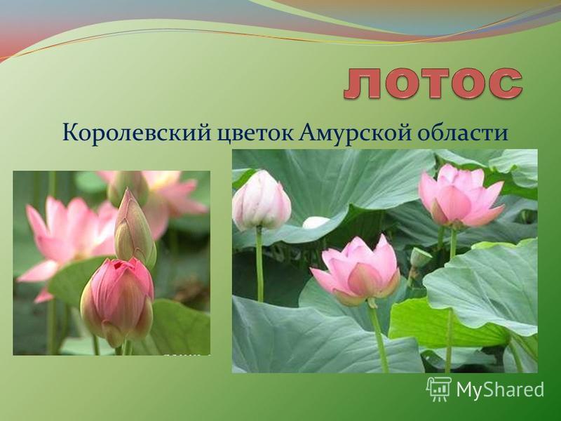 Королевский цветок Амурской области