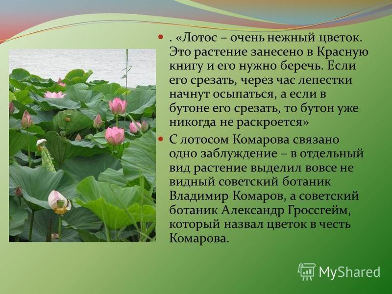 . «Лотос – очень нежный цветок. Это растение занесено в Красную книгу и его нужно беречь. Если его срезать, через час лепестки начнут осыпаться, а если в бутоне его срезать, то бутон уже никогда не раскроется» С лотосом Комарова связано одно заблужде