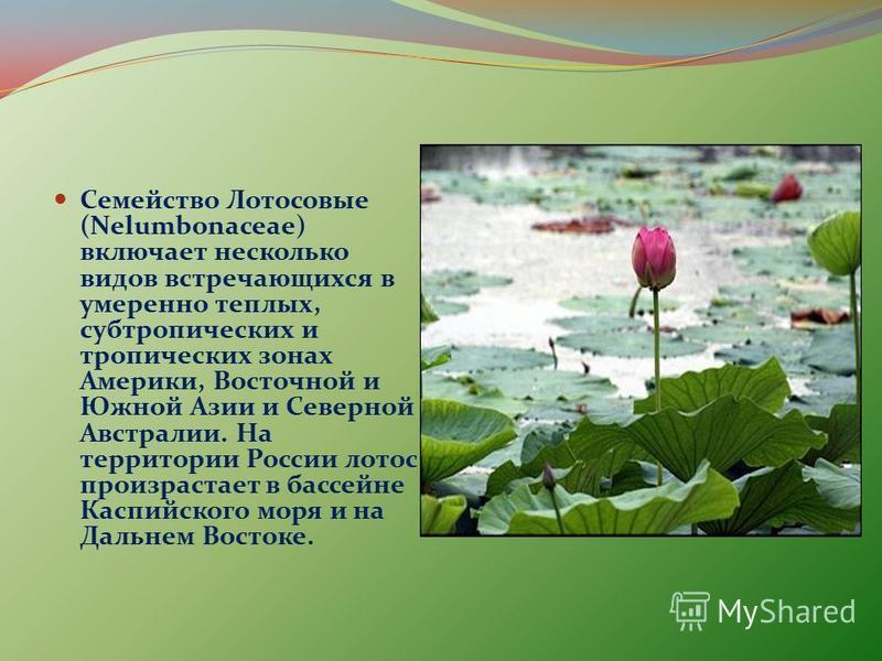 Семейство Лотосовые (Nelumbonaceae) включает несколько видов встречающихся в умеренно теплых, субтропических и тропических зонах Америки, Восточной и Южной Азии и Северной Австралии. На территории России лотос произрастает в бассейне Каспийского моря