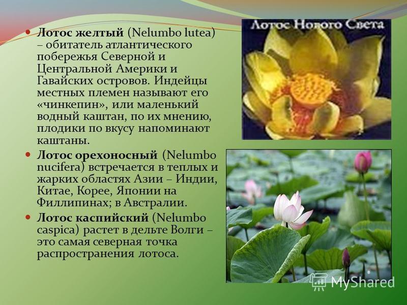 Лотос желтый (Nelumbo lutea) – обитатель атлантического побережья Северной и Центральной Америки и Гавайских островов. Индейцы местных племен называют его «чинкепин», или маленький водный каштан, по их мнению, плодики по вкусу напоминают каштаны. Лот