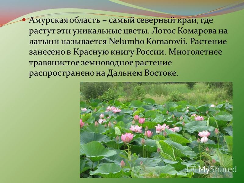 Амурская область – самый северный край, где растут эти уникальные цветы. Лотос Комарова на латыни называется Nelumbo Komarovii. Растение занесено в Красную книгу России. Многолетнее травянистое земноводное растение распространено на Дальнем Востоке.