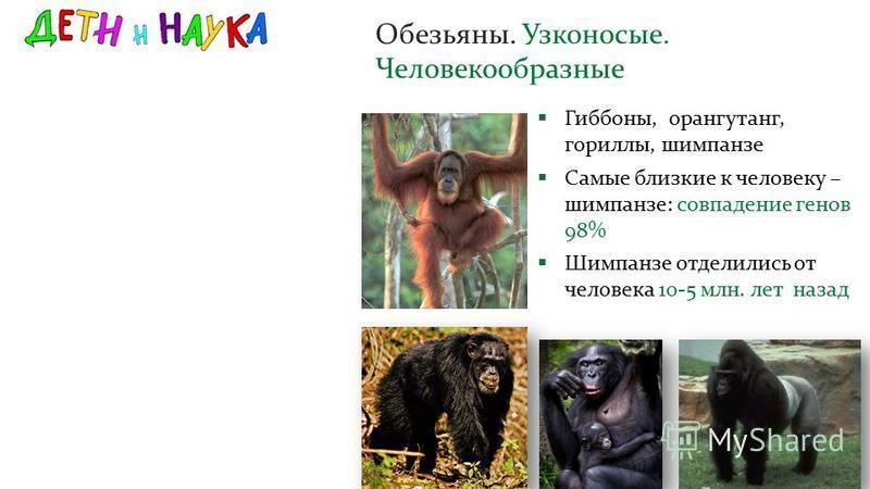 Обезьяны. Узконосые. Человекообразные Гиббоны, орангутанг, гориллы, шимпанзе Самые близкие к человеку – шимпанзе: совпадение генов 98% Шимпанзе отделились от человека 10-5 млн. лет назад