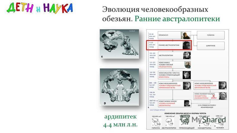Эволюция человекообразных обезьян. Ранние австралопитеки ардипитек 4.4 млн л.н.