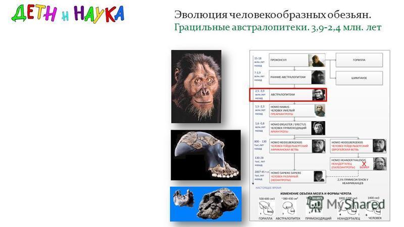 Эволюция человекообразных обезьян. Грацильные австралопитеки. 3,9-2,4 млн. лет