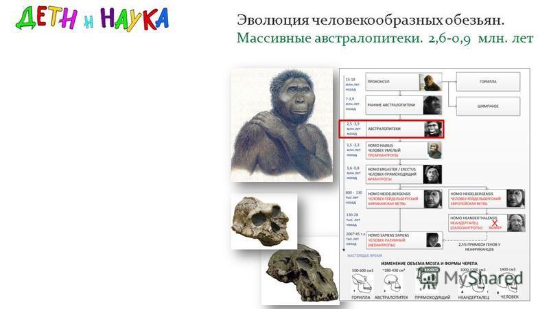 Эволюция человекообразных обезьян. Массивные австралопитеки. 2,6-0,9 млн. лет