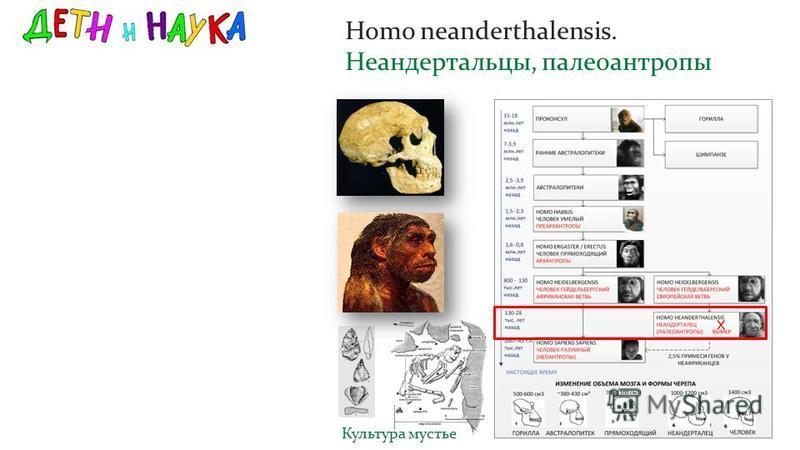Homo neanderthalensis. Неандертальцы, палеоантропы Культура мустье