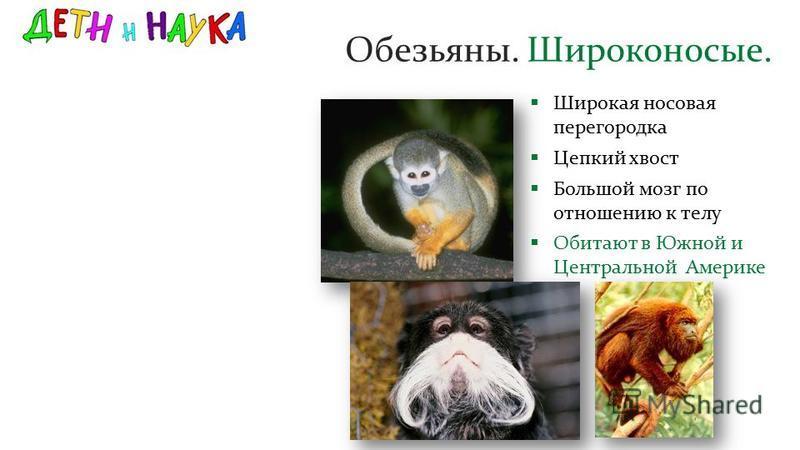 Обезьяны. Широконосые. Широкая носовая перегородка Цепкий хвост Большой мозг по отношению к телу Обитают в Южной и Центральной Америке