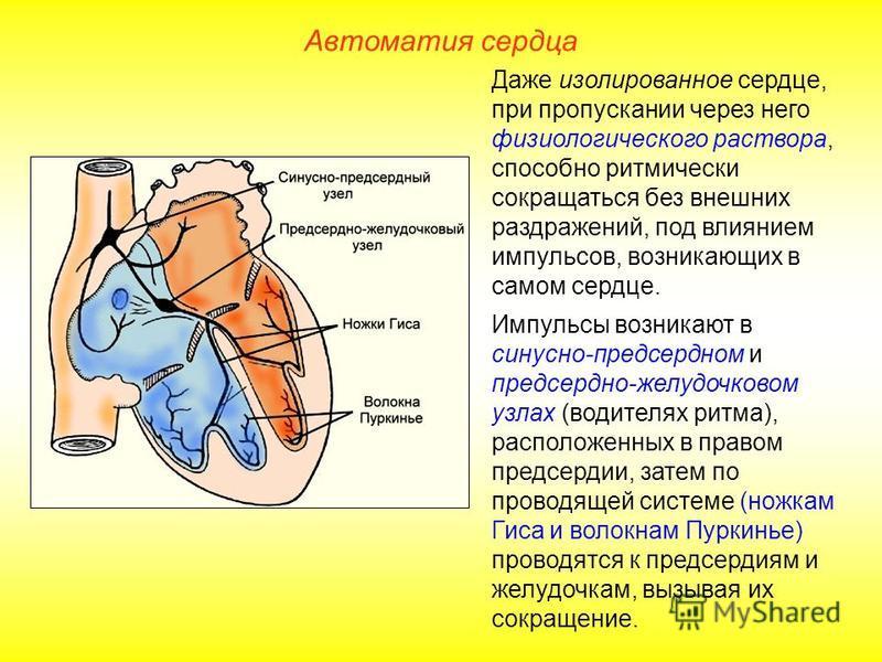 Автоматия сердца Даже изолированное сердце, при пропускании через него физиологического раствора, способно ритмически сокращаться без внешних раздражений, под влиянием импульсов, возникающих в самом сердце. Импульсы возникают в синусно-предсердном и