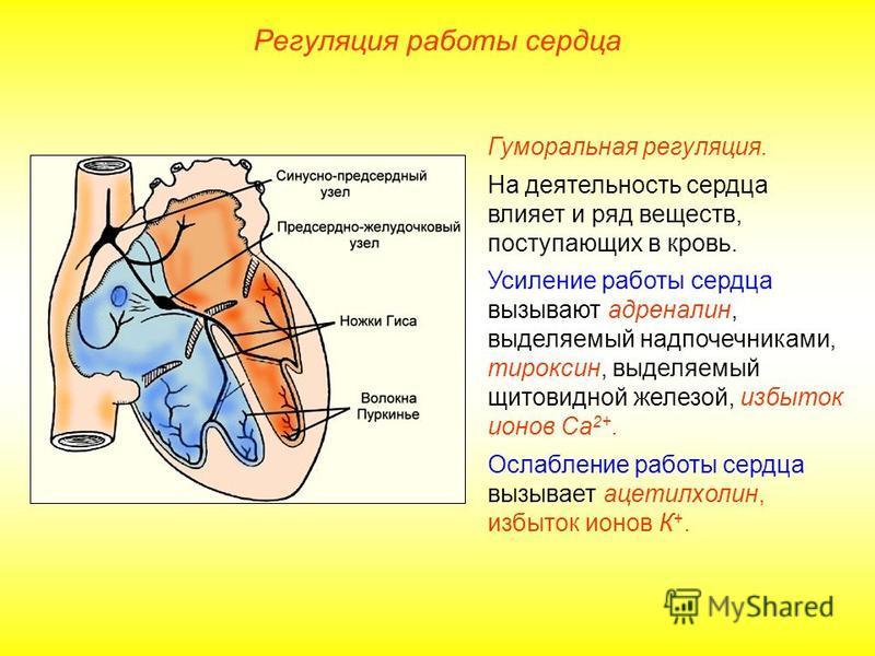 Регуляция работы сердца Гуморальная регуляция. На деятельность сердца влияет и ряд веществ, поступающих в кровь. Усиление работы сердца вызывают адреналин, выделяемый надпочечниками, тироксин, выделяемый щитовидной железой, избыток ионов Са 2+. Ослаб