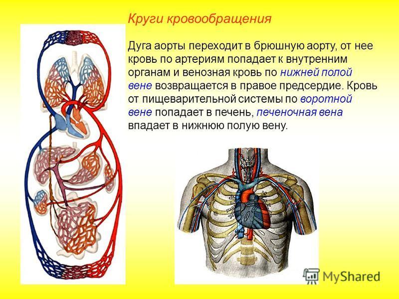 Круги кровообращения Дуга аорты переходит в брюшную аорту, от нее кровь по артериям попадает к внутренним органам и венозная кровь по нижней полой вене возвращается в правое предсердие. Кровь от пищеварительной системы по воротной вене попадает в печ
