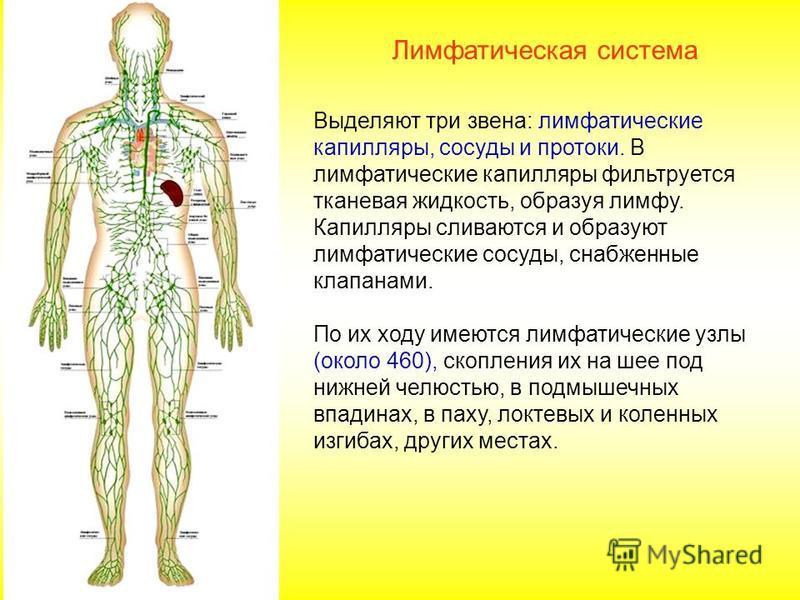 Выделяют три звена: лимфатические капилляры, сосуды и протоки. В лимфатические капилляры фильтруется тканевая жидкость, образуя лимфу. Капилляры сливаются и образуют лимфатические сосуды, снабженные клапанами. По их ходу имеются лимфатические узлы (о