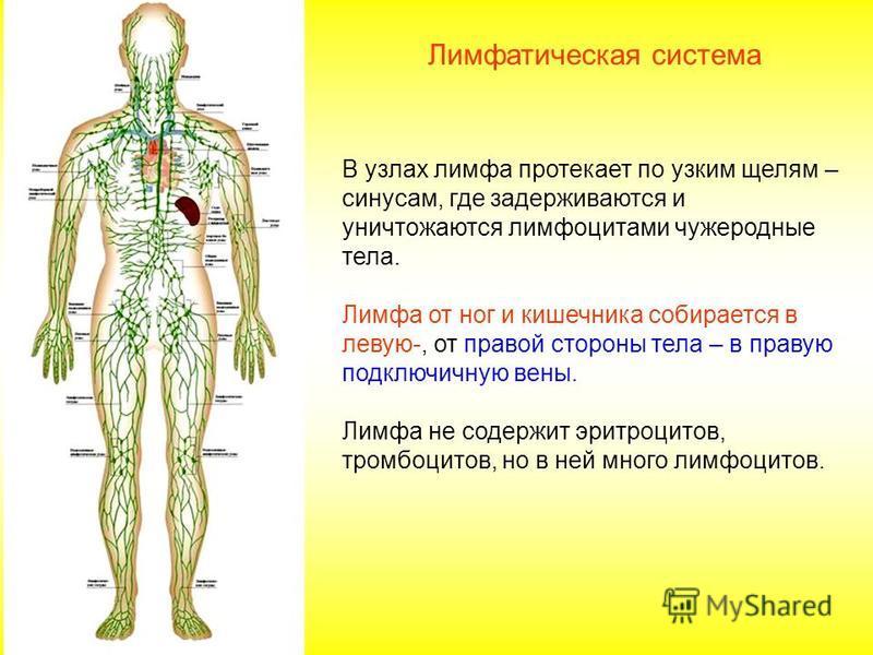 В узлах лимфа протекает по узким щелям – синусам, где задерживаются и уничтожаются лимфоцитами чужеродные тела. Лимфа от ног и кишечника собирается в левую-, от правой стороны тела – в правую подключичную вены. Лимфа не содержит эритроцитов, тромбоци