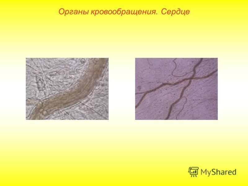 Органы кровообращения. Сердце