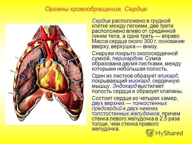 Органы кровообращения. Сердце Сердце расположено в грудной клетке между легкими, две трети расположено влево от срединной линии тела, а одна треть вправо. Масса сердца около 300 г, основание вверху, верхушка внизу. Снаружи покрыто околосердечной сумк