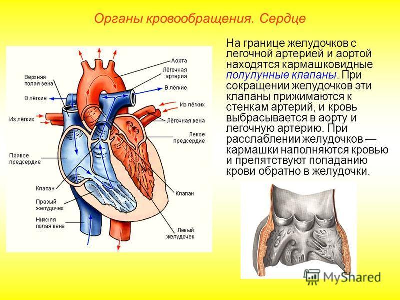 Органы кровообращения. Сердце На границе желудочков с легочной артерией и аортой находятся кармашковидные полулунные клапаны. При сокращении желудочков эти клапаны прижимаются к стенкам артерий, и кровь выбрасывается в аорту и легочную артерию. При р