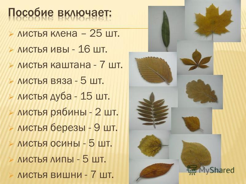листья клена – 25 шт. листья ивы - 16 шт. листья каштана - 7 шт. листья вяза - 5 шт. листья дуба - 15 шт. листья рябины - 2 шт. листья березы - 9 шт. листья осины - 5 шт. листья липы - 5 шт. листья вишни - 7 шт.