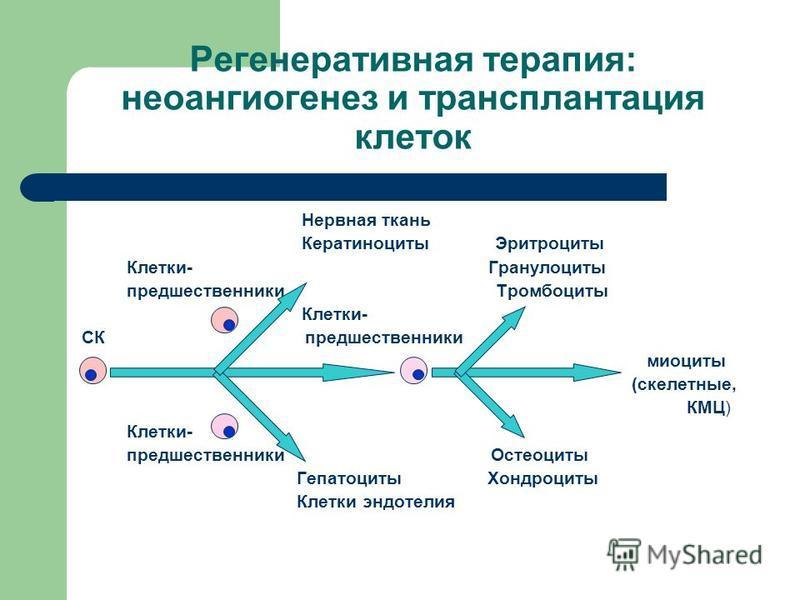 Регенеративная терапия: неоангиогенез и трансплантация клеток Нервная ткань Кератиноциты Эритроциты Клетки- Гранулоциты предшественники Тромбоциты Клетки- СК предшественники миоциты (скелетные, КМЦ) Клетки- предшественники Остеоциты Гепатоциты Хондро