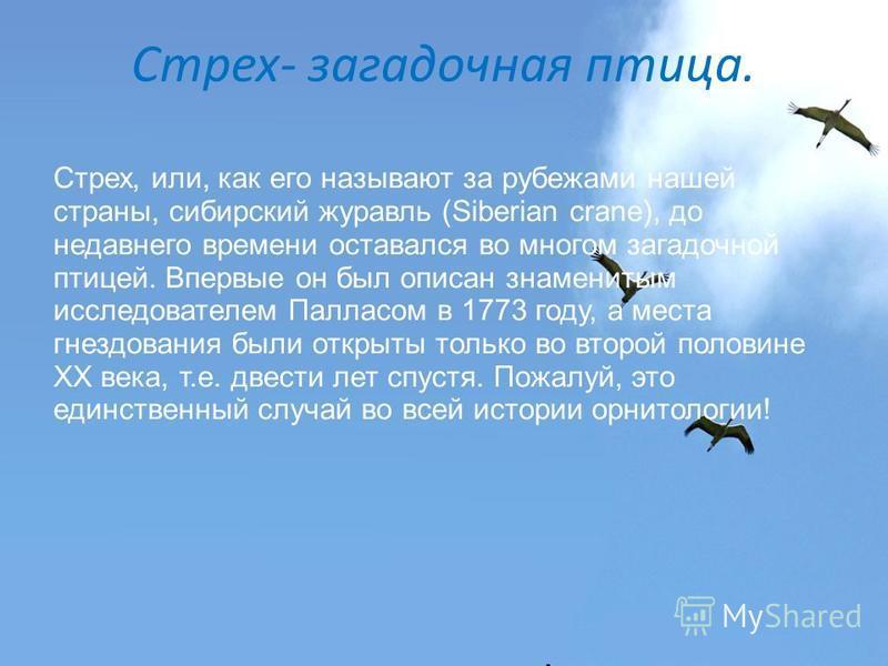 Стрех- загадочная птица. Стрех, или, как его называют за рубежами нашей страны, сибирский журавль (Siberian crane), до недавнего времени оставался во многом загадочной птицей. Впервые он был описан знаменитым исследователем Палласом в 1773 году, а ме