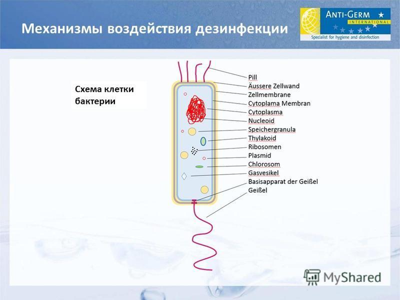 Механизмы воздействия дезинфекции Схема клетки бактерии