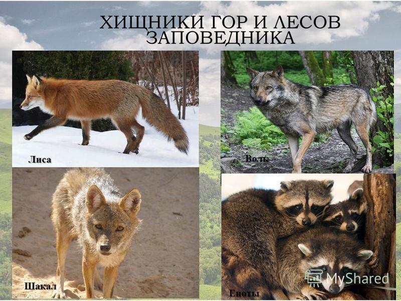ХИЩНИКИ ГОР И ЛЕСОВ ЗАПОВЕДНИКА Лиса Волк Шакал Еноты