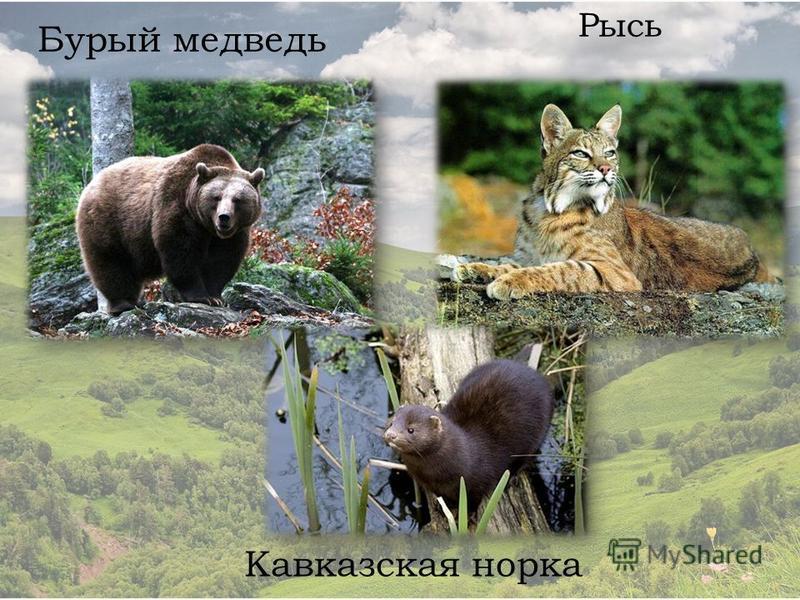 Бурый медведь Рысь Кавказская норка