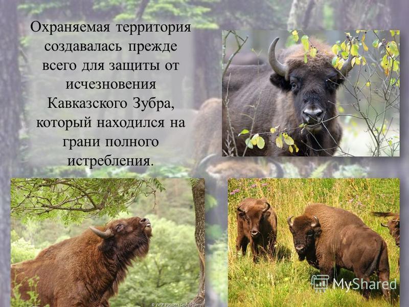 Охраняемая территория создавалась прежде всего для защиты от исчезновения Кавказского Зубра, который находился на грани полного истребления.