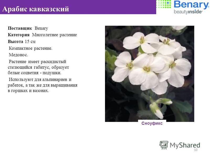 Поставщик Benary Категория Многолетнее растение Высота 15 см Компактное растение. Медонос. Растение имеет раскидистый стелющийся габитус, образует белые соцветия - подушки. Используют для альпинариев и рабаток, а так же для выращивания в горшках и ва