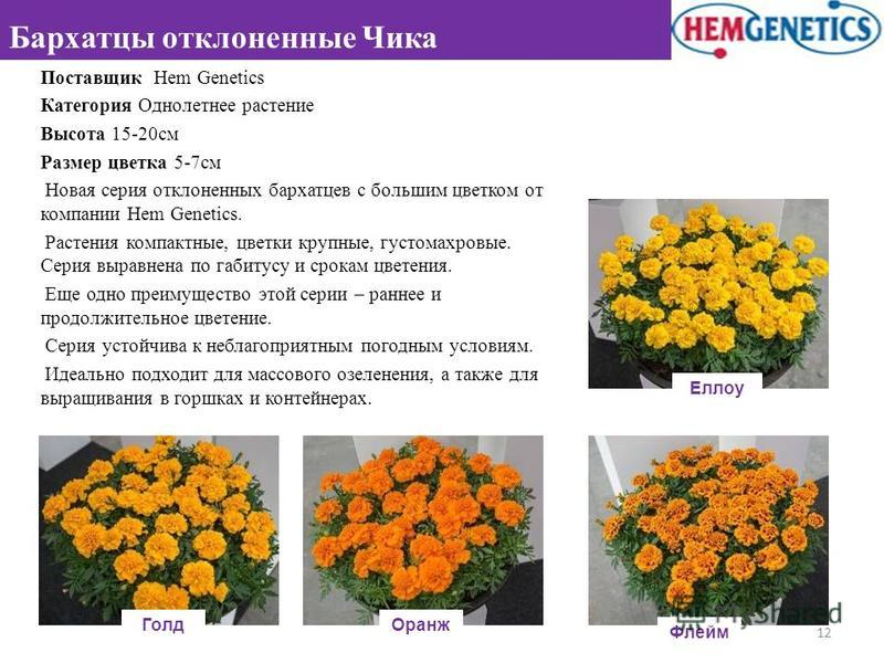 Поставщик Hem Genetics Категория Однолетнее растение Высота 15-20 см Размер цветка 5-7 см Новая серия отклоненных бархатцев с большим цветком от компании Hem Genetics. Растения компактные, цветки крупные, густомахровые. Серия выравнена по габитусу и