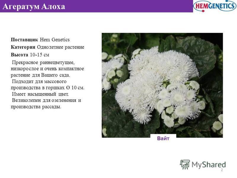 Агератум Алоха Поставщик Hem Genetics Категория Однолетнее растение Высота 10-15 см Прекрасное раннецветущее, низкорослое и очень компактное растение для Вашего сада. Подходит для массового производства в горшках Ø 10 см. Имеет насыщенный цвет. Велик
