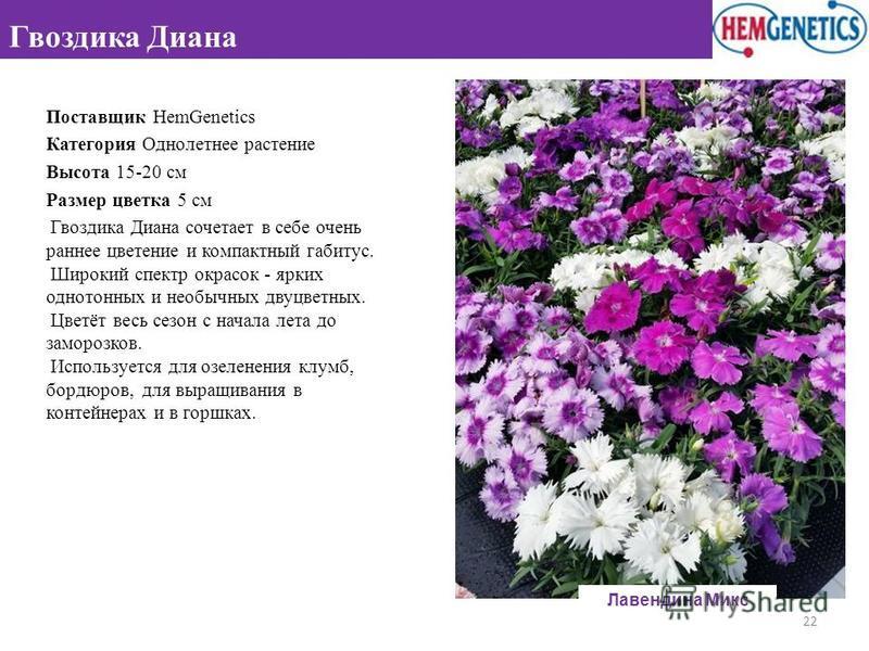 Поставщик HemGenetics Категория Однолетнее растение Высота 15-20 см Размер цветка 5 см Гвоздика Диана сочетает в себе очень раннее цветение и компактный габитус. Широкий спектр окрасок - ярких однотонных и необычных двуцветных. Цветёт весь сезон с на