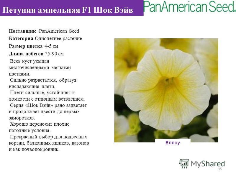 Поставщик PanAmerican Seed Категория Однолетнее растение Размер цветка 4-5 см Длина побегов 75-90 см Весь куст усыпан многочисленными мелкими цветками. Сильно разрастается, образуя ниспадающие плети. Плети сильные, устойчивы к ломкости с отличным вет