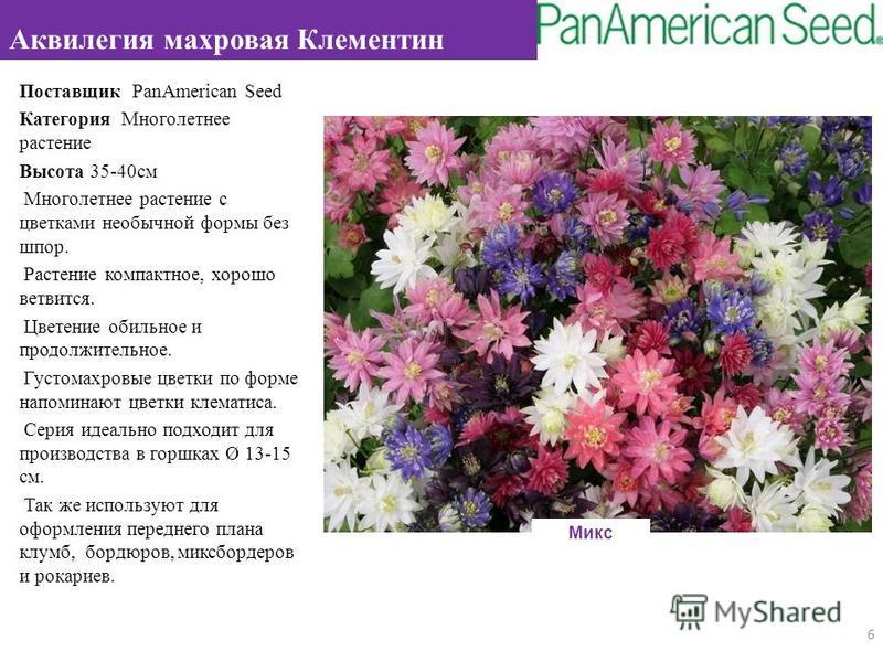 Поставщик PanAmerican Seed Категория Многолетнее растение Высота 35-40 см Многолетнее растение с цветками необычной формы без шпор. Растение компактное, хорошо ветвится. Цветение обильное и продолжительное. Густомахровые цветки по форме напоминают цв