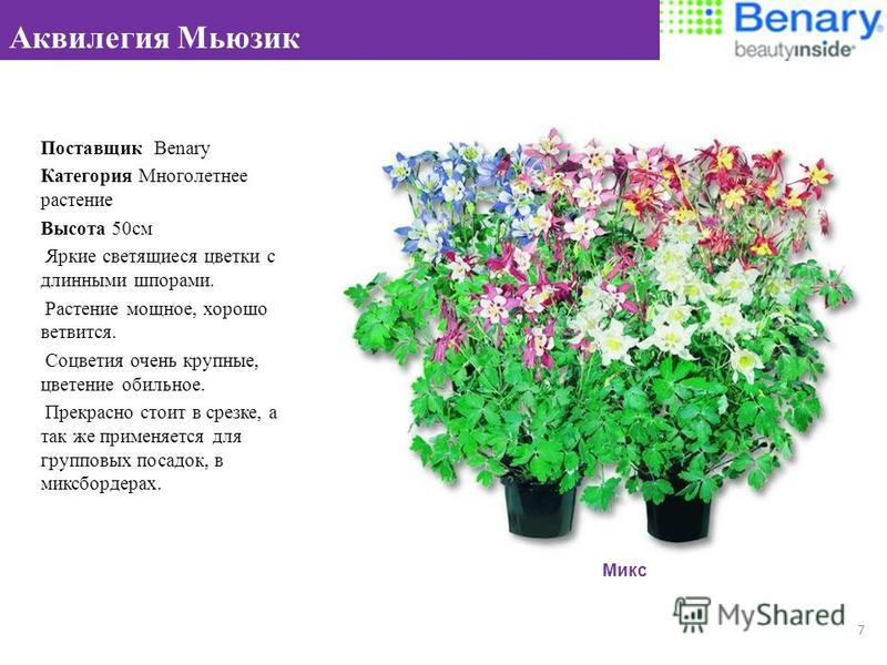 Поставщик Benary Категория Многолетнее растение Высота 50 см Яркие светящиеся цветки с длинными шпорами. Растение мощное, хорошо ветвится. Соцветия очень крупные, цветение обильное. Прекрасно стоит в срезке, а так же применяется для групповых посадок
