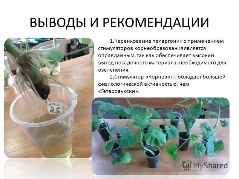 ВЫВОДЫ И РЕКОМЕНДАЦИИ 1. Черенкование пеларгонии с применением стимуляторов корнеобразования является оправданным, так как обеспечивает высокий выход посадочного материала, необходимого для озеленения. 2. Стимулятор «Корневин» обладает большей физиол